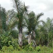 Giovani piante di Raphia