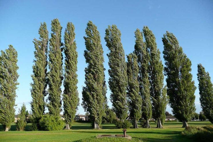 Filare di alberi di pioppo