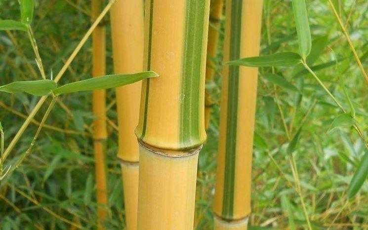 Canne bambù