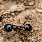 Formiche infestatrici