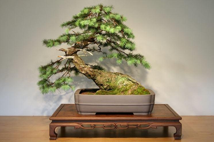 Abete bonsai