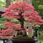 Bonsai acero giapponese