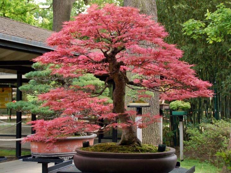 Bonsai acero giapponese curare bonsai curare bonsai acero for Acero giapponese in vaso