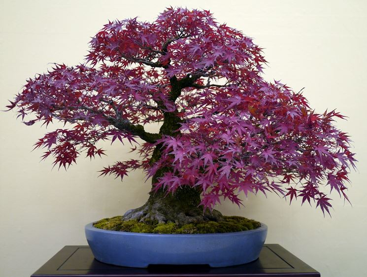 Bonsai acero