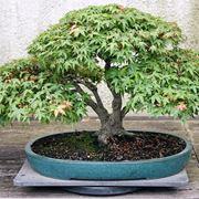 Un esempio di bonsai di acero palmato