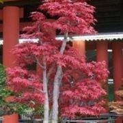 Bonsai acero rosso curare bonsai coltivare acero rosso for Acero rosso canadese prezzo