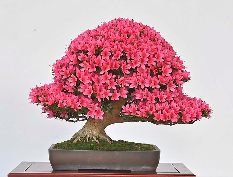 Bonsai azalea fiorito