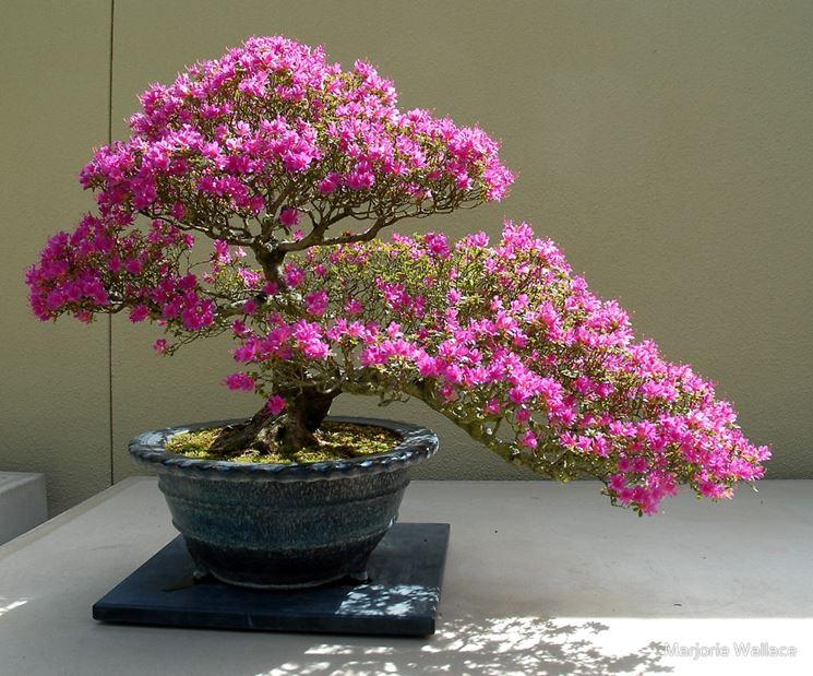 Bonsai azalea in fiore