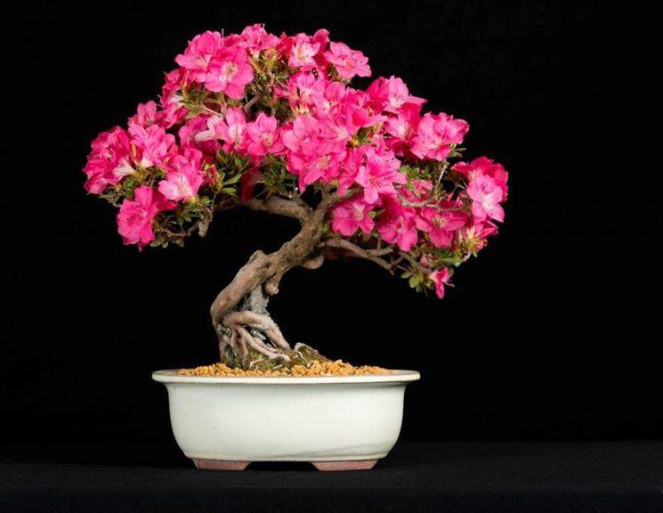 Albero bonsai azalea