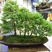 Boschetto di bonsai di betulla