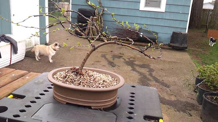 Grande bonsai di betulla