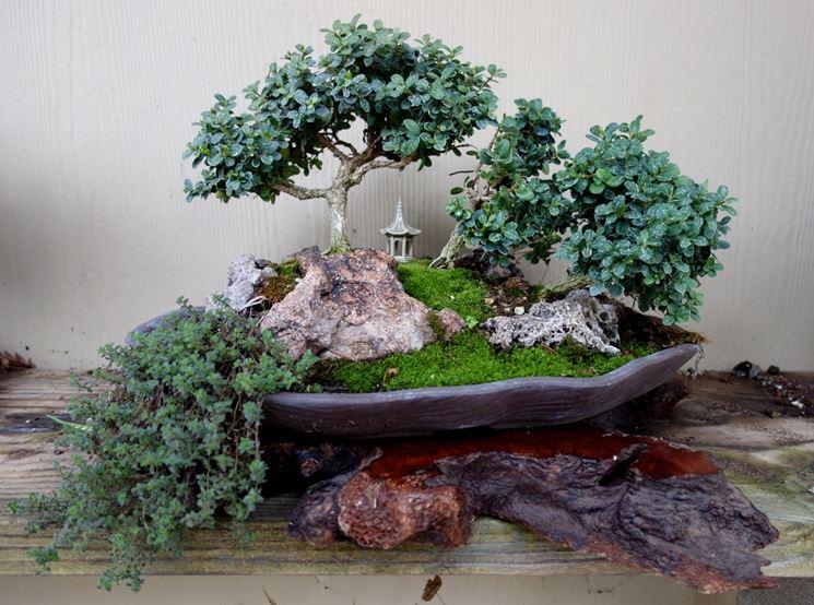 Esempio di bonsai bosso
