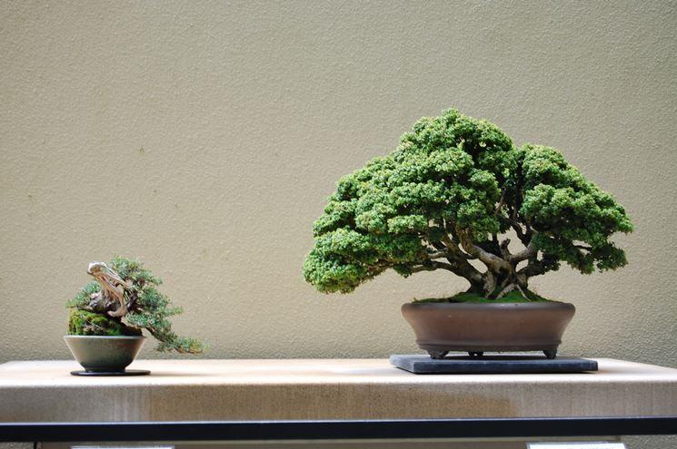 Esempio di bonsai bosso nano