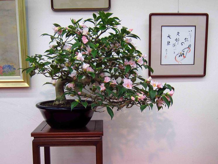 Bonsai di camelia fiorito