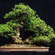 Il Bonsai carmona