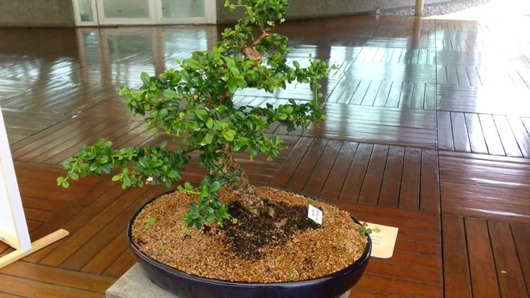 Il Bonsai carmona in casa