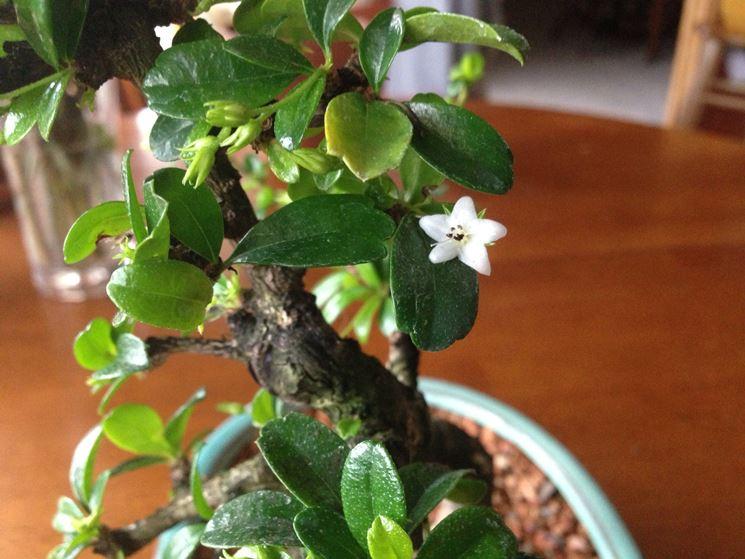 Bonsai carmona fiore