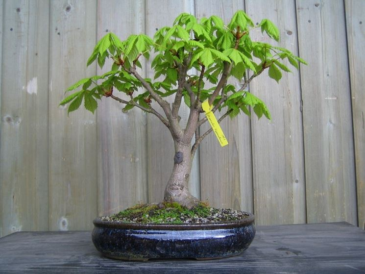 Bonsai castagno