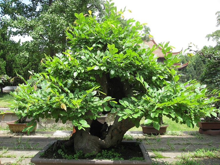 bonsai di castagno