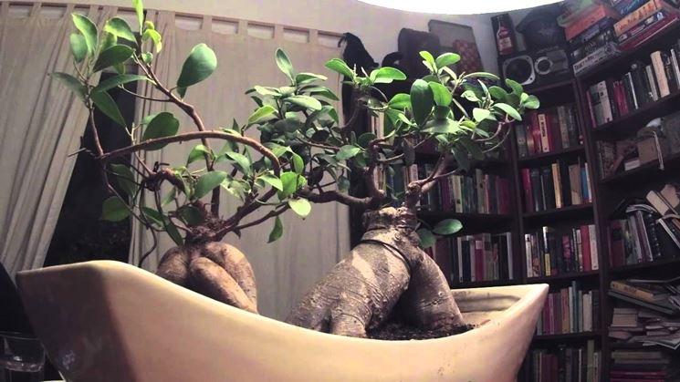 Il Bonsai ficus ginseng nell'abitazione