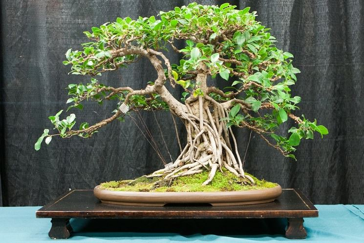 Esemplare di bonsai ficus retusa