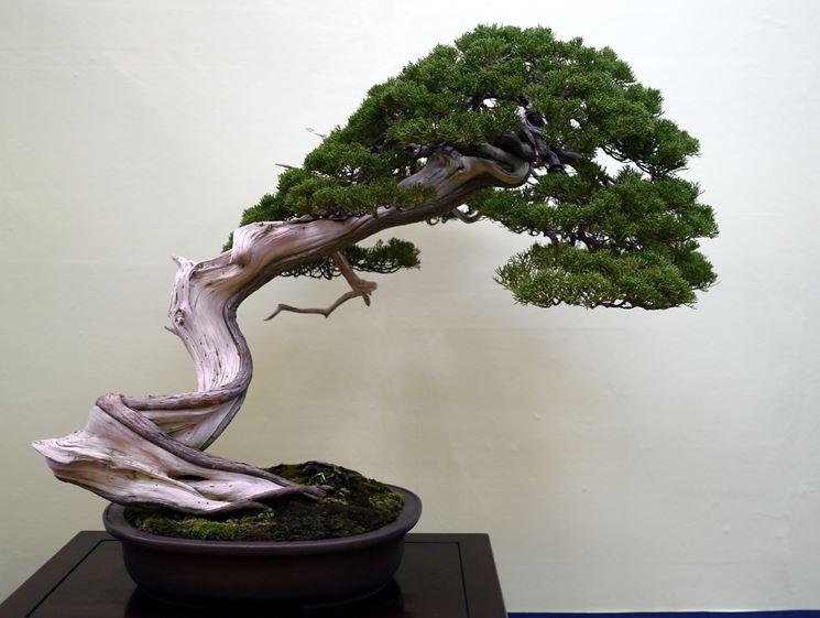 Particolare bonsai ginepro