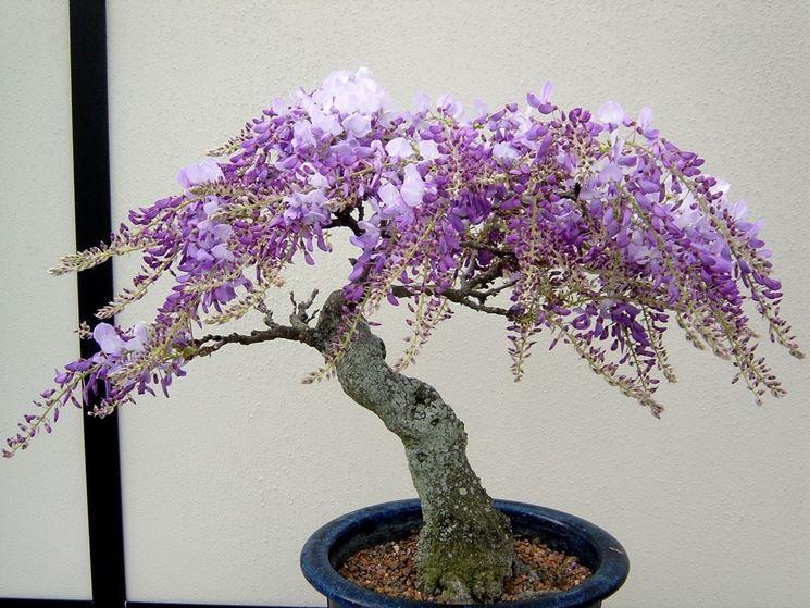 bonsai glicine curare bonsai coltivare bonsai glicine