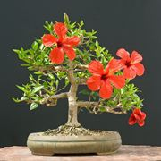 Bonsai hibiscus