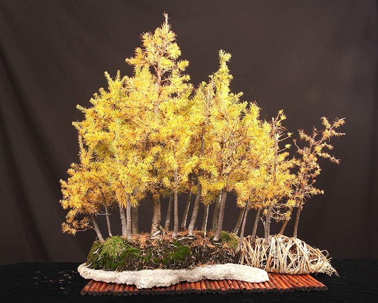Cura piante bonsai