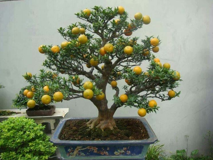 Bonsai limone coltivazione