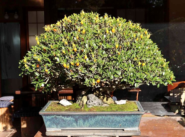 coltivare bonsai limone