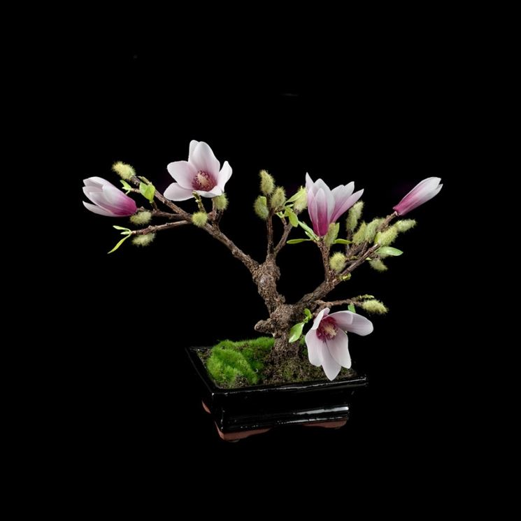 Bonsai di magnolia