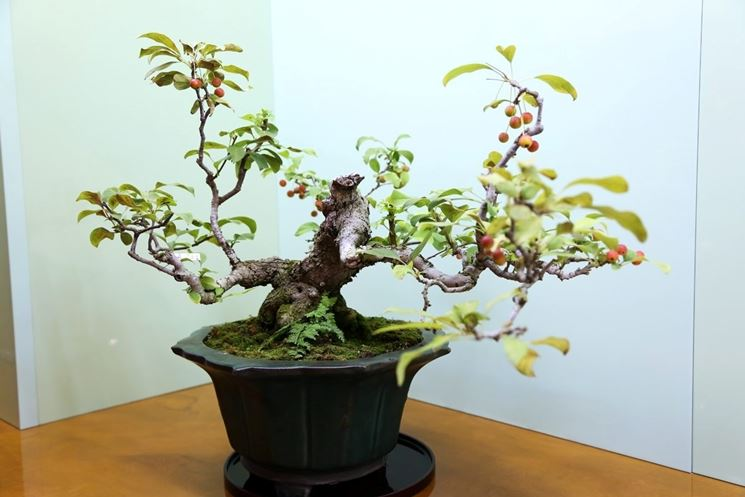Bonsai melo interno