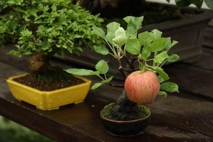 Mela bonsai