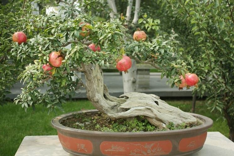 come curare bonsai melograno