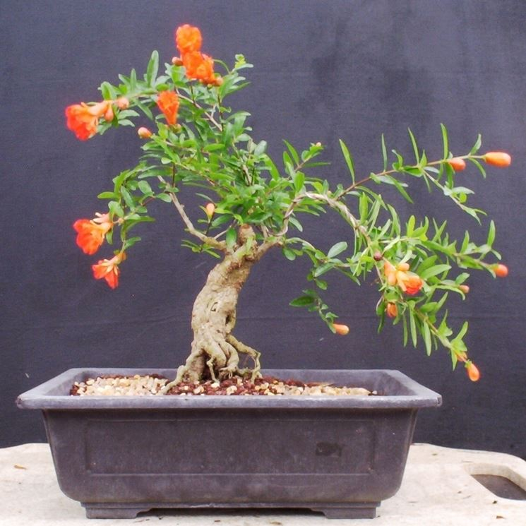 pianta bonsai melograno