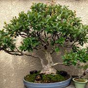 Esempio di bonsai mirto