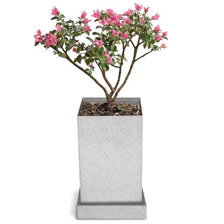 Esemplare di bonsai mirto a foglia crespa