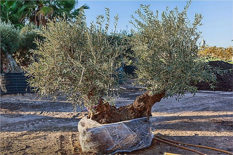Coltivazione bonsai olivo
