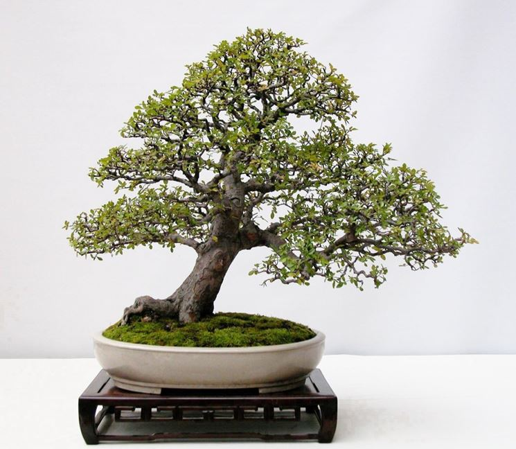 Il Bonsai olmo