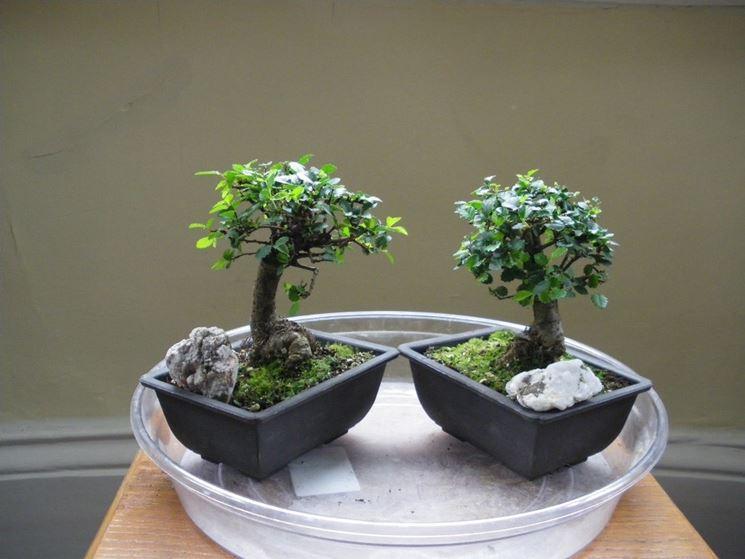 Il Bonsai olmo in abitazione