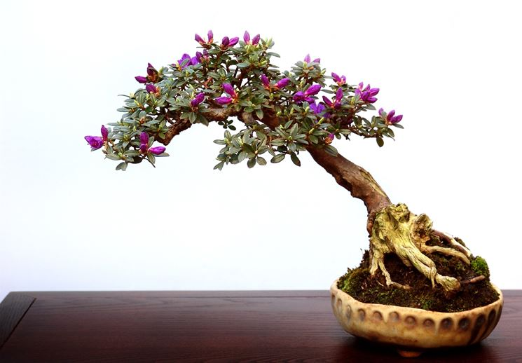 Bonsai sempreverde