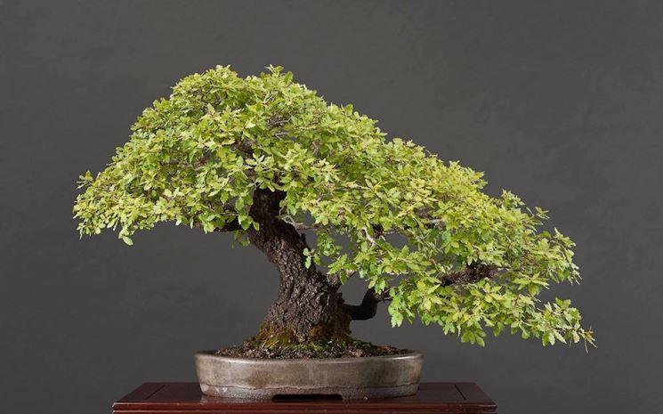 Bonsai quercia estate