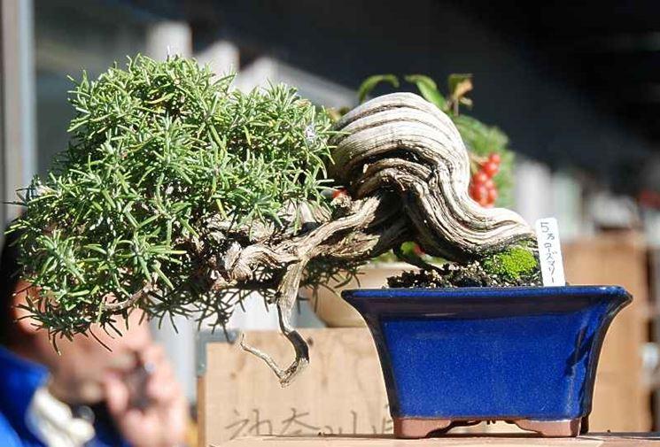 Bonsai con tronco intrecciato
