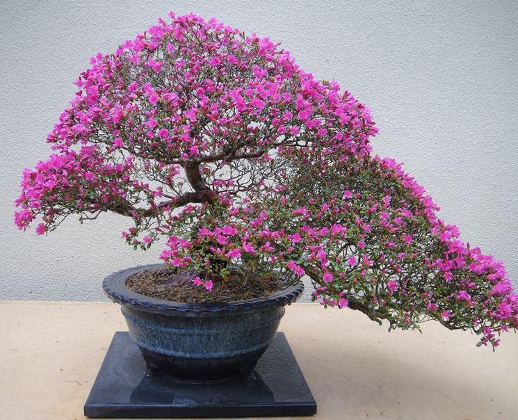 Azalea pianta bonsai