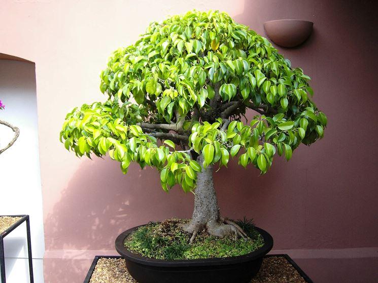 Pianta ficus bonsai