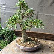 Pianta di Ficus bonsai