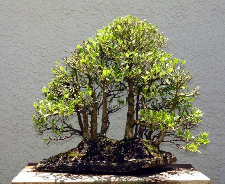 Ficus bonsai con chioma potata