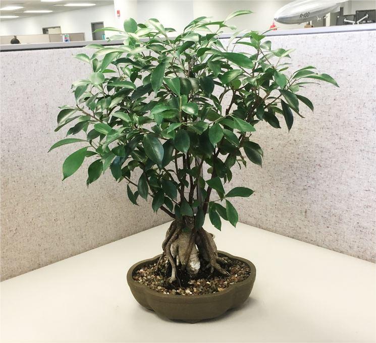 Tipologia di Ficus bonsai
