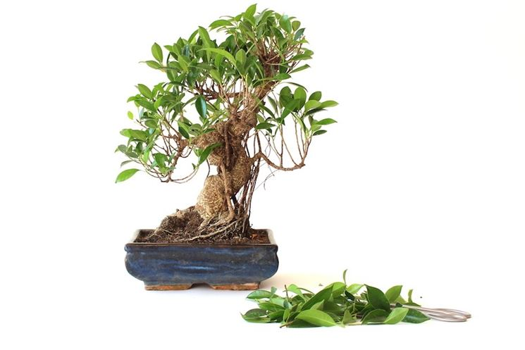 ficus bonsai curare bonsai coltivazione ficus. Black Bedroom Furniture Sets. Home Design Ideas